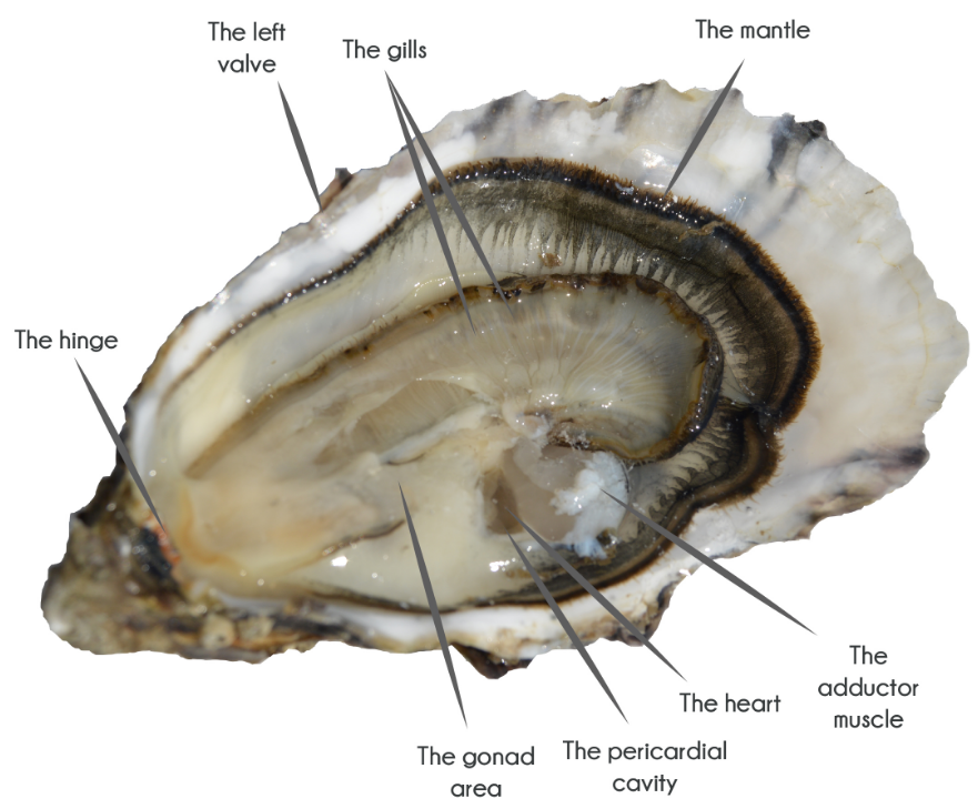 anatomy of the oyster